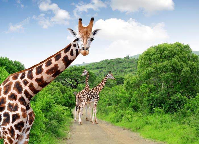 Почему у жирафа длинная шея | Наука и жизнь