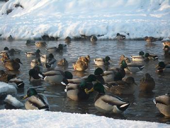 Зимой 2012 года в Москве зимует меньше...