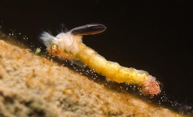 Картинка личинок комаров