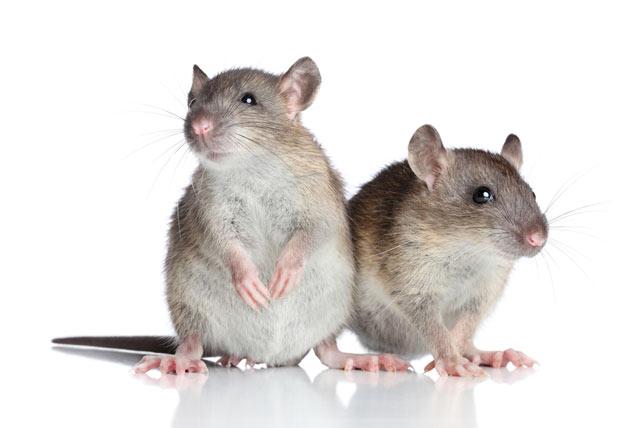 Для доминантных мышей проблемы с социальным статусом оборачиваются депрессией. (Фото: FotoJagodka / Depositphotos.)
