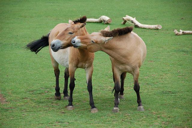 Что ели лошади Пржевальского сто лет назад