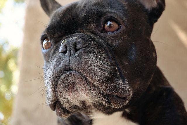 Собаки седеют из-за раздражающих факторов иситуаций