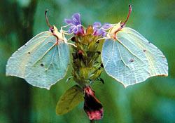 Некоторые растения, чтобы привлечь опылителей, вырабатывают вещества, имитирующие феромоны насекомых.