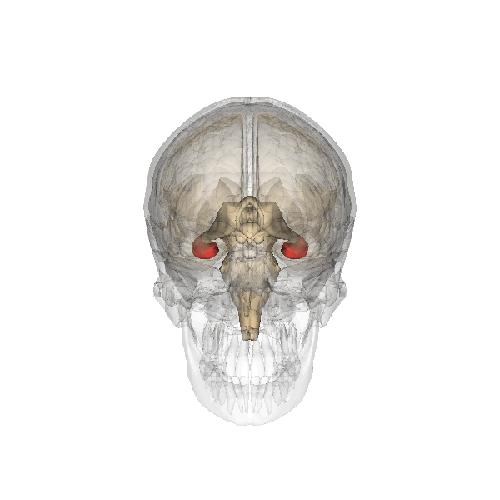 Расположение гиппокампа в мозге человека. (Иллюстрация: Life Science Databases / Wikipedia.)