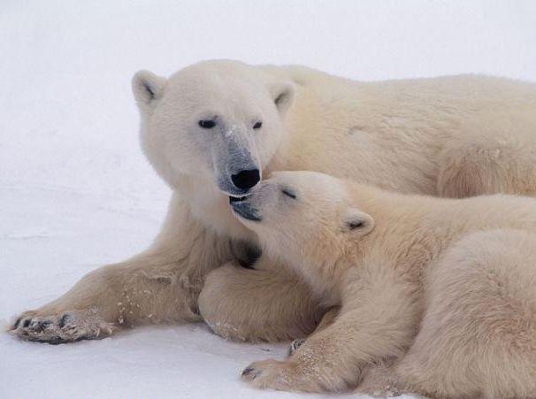 Обитание белых медведей.  Размеры: 606 х 451 пикселей, формат: jpg.  Чтобы бесплатно скачать картинку для...