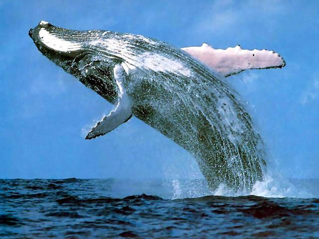 Почему киты стали большими | Наука и жизнь