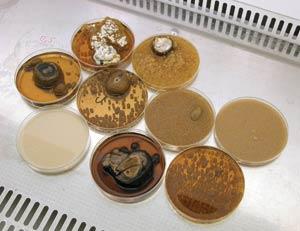 Культура гриба омфалотуса выращивается в лабораторных условиях на жидких средах. В зависимости от условий выращивания и состава питательной среды гриб растет по-разному. Фото О. Ефременковой.