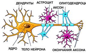 картинки нервная ткань