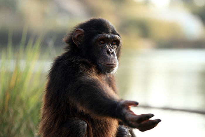 Шимпанзе сильнее людей, но не намного. (Фото: mrahmo / Depositphotos.)