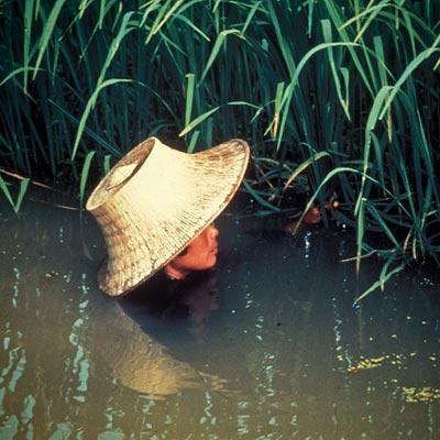 Почему рис не боится наводнений