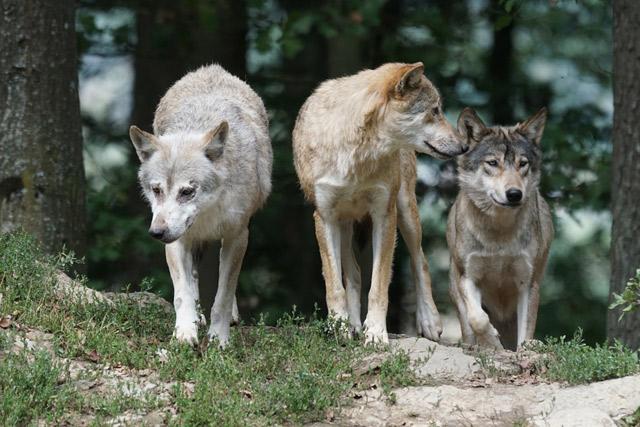 Волчий коллектив | Наука и жизнь