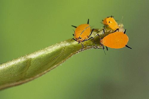 Почти в каждой тле есть небольшая популяция бактерий-эндосимбионтов рода Buchnera, которым приходится как-то противостоять дрейфу генов. (Фото: RPMX / Flickr.com.)