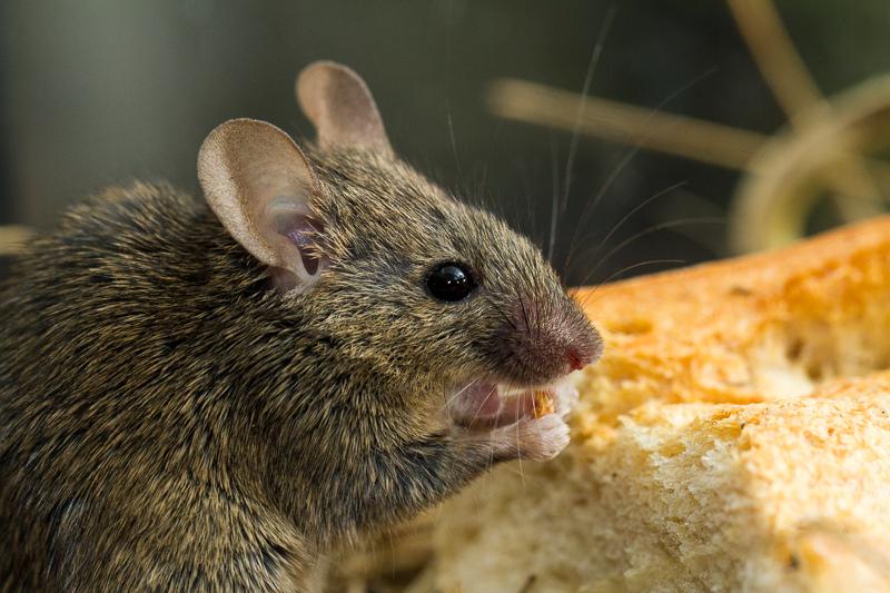 Мыши поют по-реактивному | Наука и жизнь