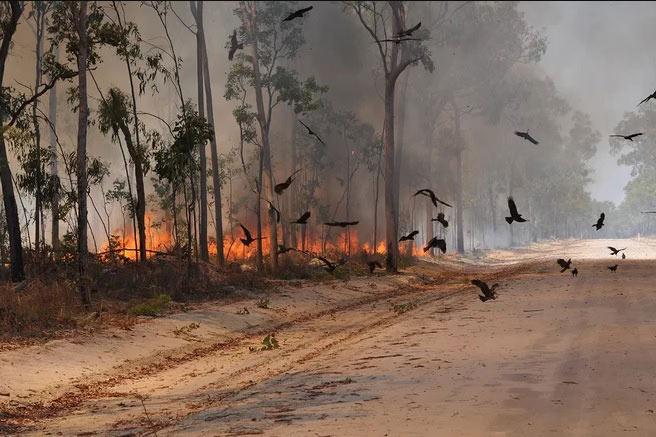 Коршуны на пожаре, разгоревшемся вдоль дороге на полуострове Кейп-Йорк, Австралия. (Фото: Dick Eussen.)