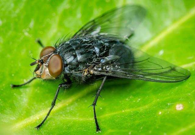 Личинки красноголовой синей падальницы успешно сопротивляются бактериальным инфекциям. (Фото: Allan Burrows / Flickr.com.)