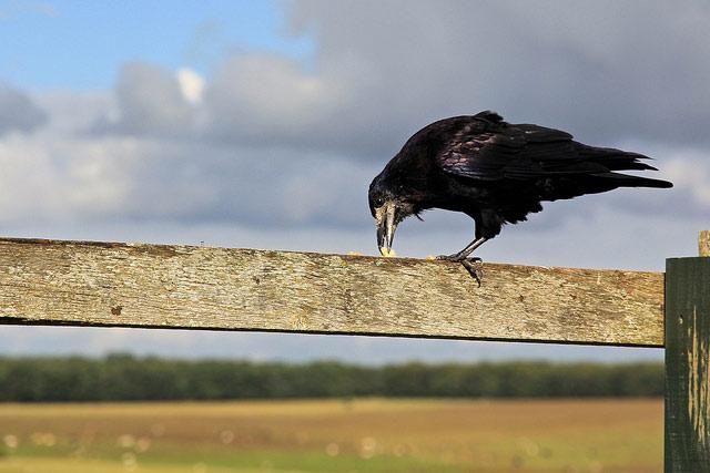 Ворон. (Фото: Christian Varga / Flickr.com.)