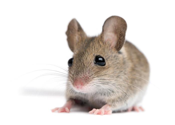 Мыши заражают аутизмом друг друга   Наука и жизнь