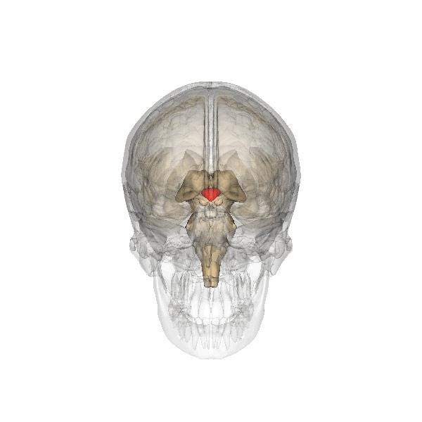 В мозге нашли «источник здоровья и долголетия» | Наука и жизнь