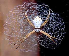 Зигзагообразные нити - одна из особенностей тенет пауков рода Argiope.