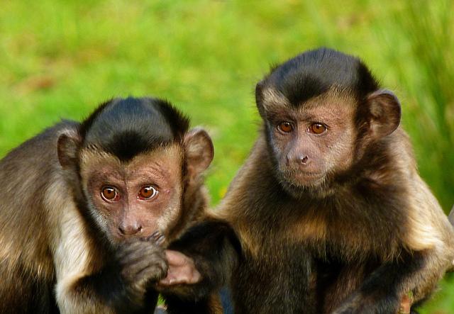 Археологи обнаружили каменные орудия обезьян возрастом 700 лет