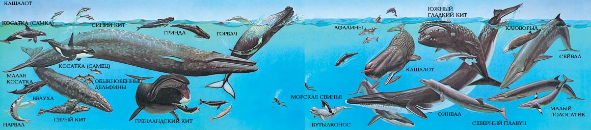 схема синий кит игра нас