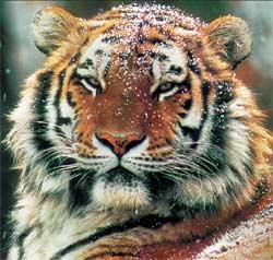 люди родившиеся под знаком тигра