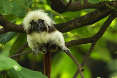 Эдипов тамарин – самый нетерпеливый среди обезьян. (Фото Thomas Marent / Corbis).