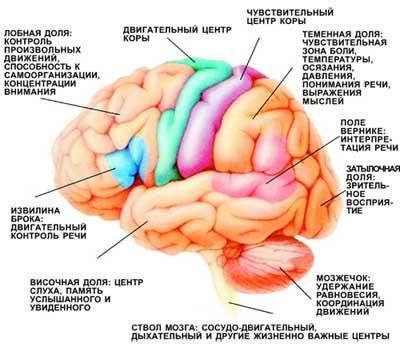 Функциональные зоны мозга.