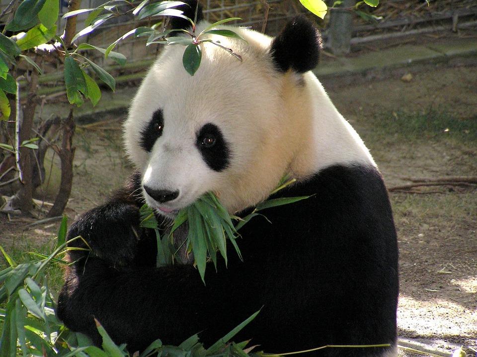 Ультразвук и панды