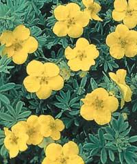 Фото цветка курильский чай