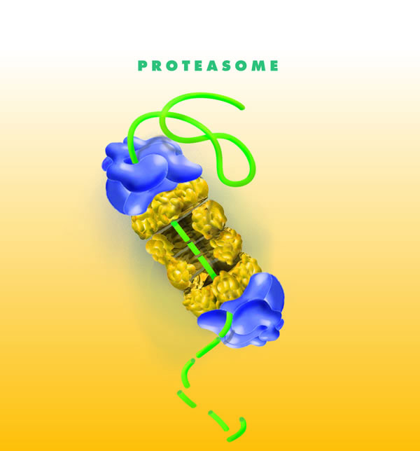 Протеасома и расщепляемая
