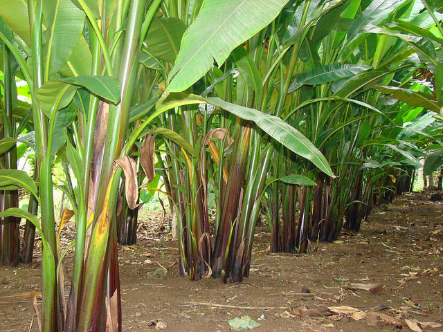 Абака, или текстильный банан. (Фото: Joselito Lira / Flickr.com.)
