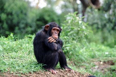 Шимпанзе могут потратить пару минут, чтобы дождаться отложенной выгоды. (Фото Tom Brakefield / Corbis).)