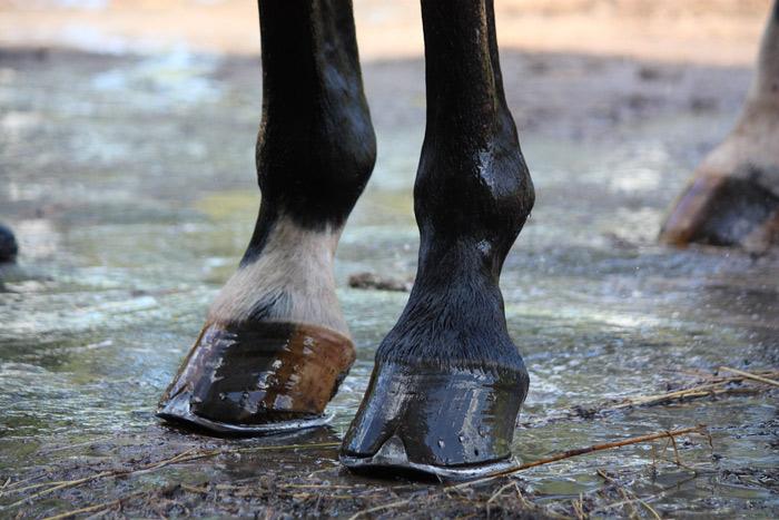 Почему у лошадей на ногах по одному пальцу