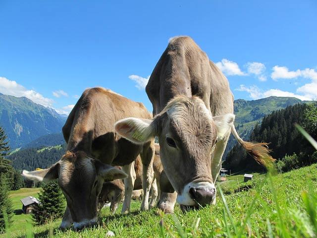 Парниковые коровы | Наука и жизнь