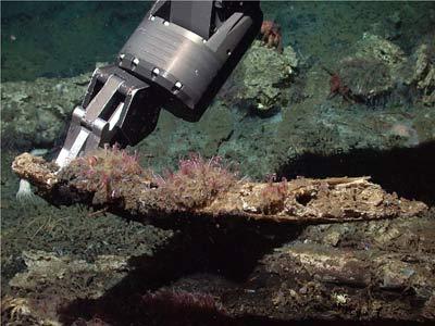 Osedax frankpressi на фрагементе китового ребра. Фотография сделана на глубине 2893 м в каньоне возле института Монтерея, Калифорния. Автор фотографии - Р. Врайенхук, MBARI.
