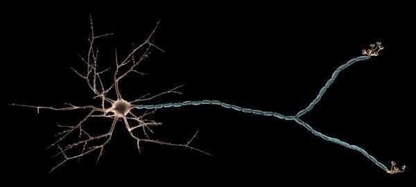 Схематическое изображение нейрона; длинный отросток справа – аксон. (Фото: Peter Cruickshank / Flickr.com.)