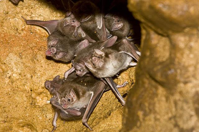 Компания мексиканских вампиров. (Фото Bruce Thomson / Flickr.com.)