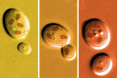 Схема эксперимента: перевод митохондрий из одной дрожжевой клетки в другую, лишённую митохондрий. (Иллюстрация Jose-Luis Olivares / MIT.)