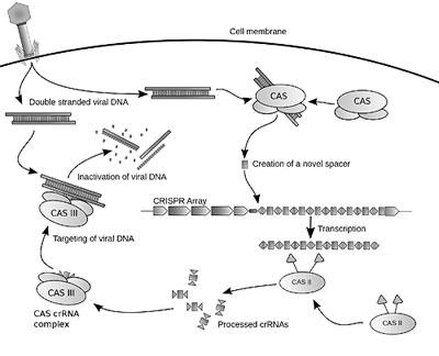 функция белков Cas