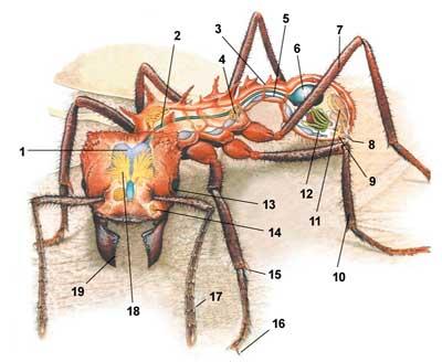 """Муравей и муравейник  """" Строение муравья."""