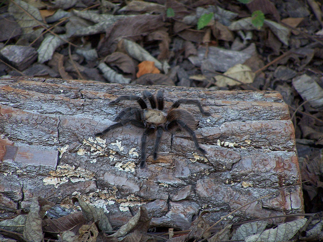 В жару пауки путаются в ногах | Наука и жизнь