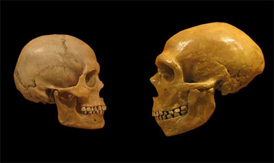 Череп человека современного вида (Homo sapiens; слева) и неандертальца (Homo neanderthalensis; справа). (Фото: hairymuseummatt / Wikimedia)