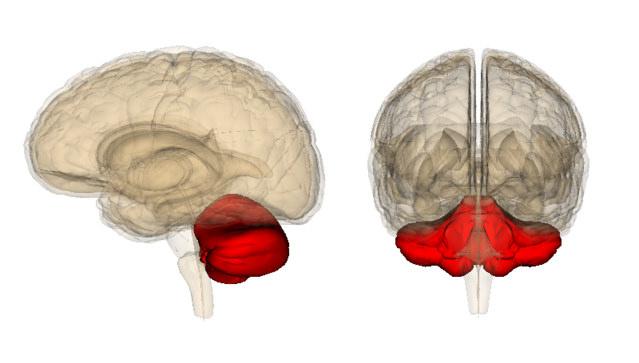 Мозжечок в человеческом мозге. (Фото: Curtis Cripe / Flickr.com)