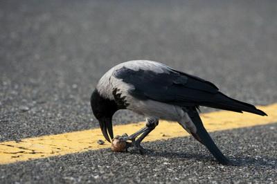 Серые вороны – обычные жители наших городов, номы даже не подозреваем, насколько они умны (Фото - Marc Tirl / dpa / Corbis.)