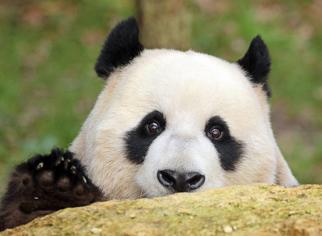 Горькая жизнь больших панд
