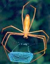 Пауки семейства Dinopidae spinosa плетут сетку из паутины между своих ног и затем набрасывают ее на жертву.