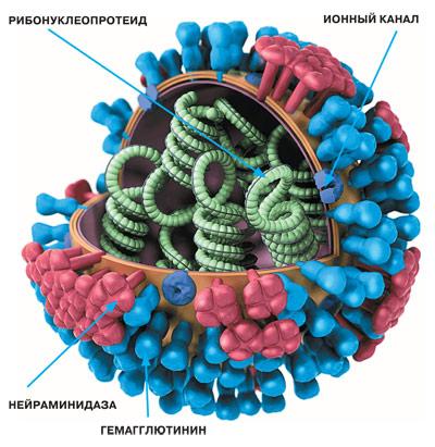 Картинки по запросу вирус гриппа