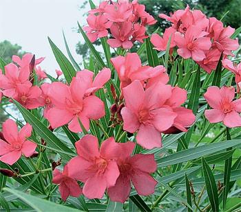Фото олеандра цветущего
