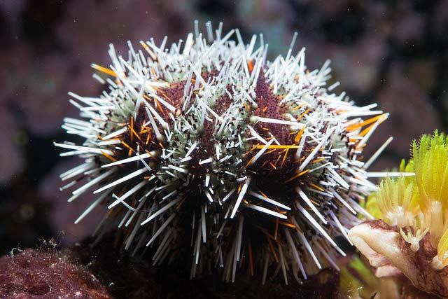 Морские ежи стреляют ядовитыми «клешнями» | Наука и жизнь
